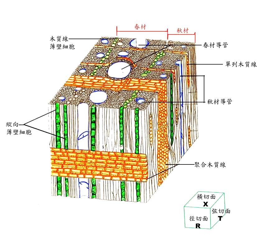 图2阔叶材3切面构造特征