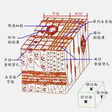 图1针叶材3切面构造特征