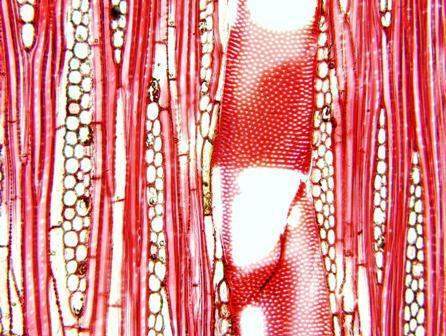 纤皮玉蕊弦切面显微构造特征图