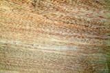 齿叶蚁木2